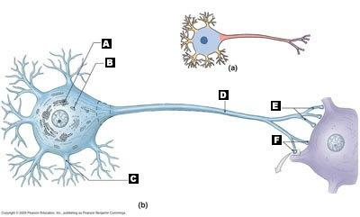 Chapter 12 neural tissue flashcards easy notecards label the following structural components of a neuron ccuart Images