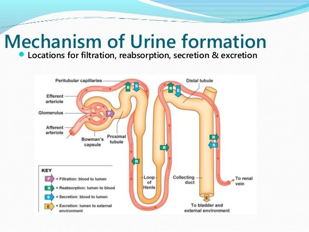 process of urine formation The formation of urine takes place by 3 processes it is a process by which the glandular cells of nephron especially of dct formation and composition of urine.