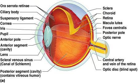sensory organs - week #13 flashcards | easy notecards eye diagram to label kifd eye diagram label foeva #12
