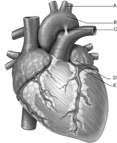 Print Cardiovascular System: The Heart flashcards   Easy Notecards