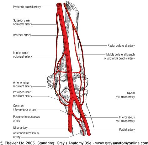 Blood Vessels Of The Upper Limb Flashcards Easy Notecards