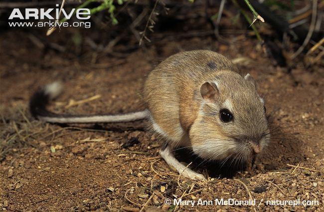 Opinions on heteromyidae