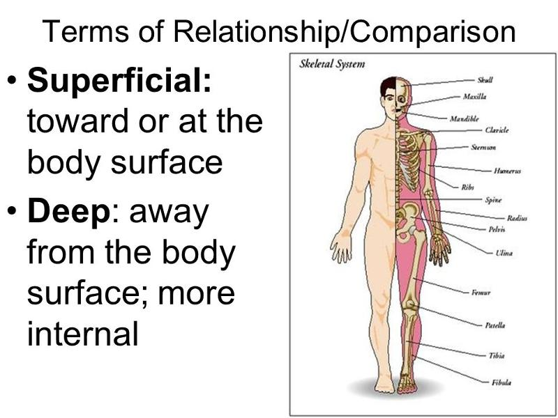 Human Body Orientation Lecture Flashcards Easy Notecards
