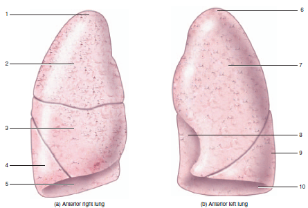 Image result for label the lobes of lungs