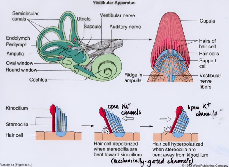Print Sensory Organs Week 13 Flashcards Easy Notecards