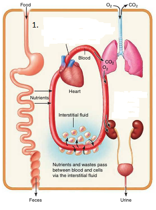 Homeostasis and Regulation in the Human Body