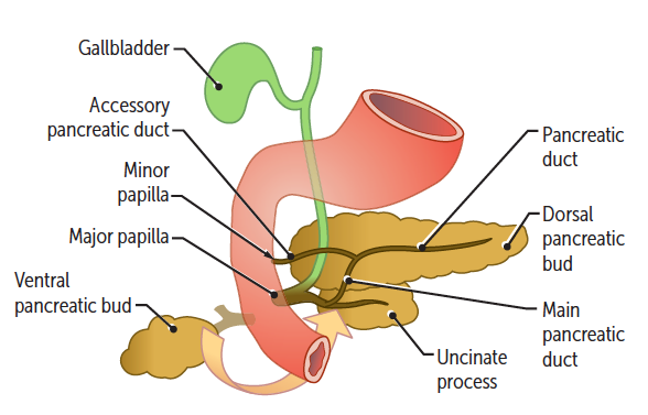 GI Embryology Flashcards | Easy NotecardsUncinate Process Pancreas