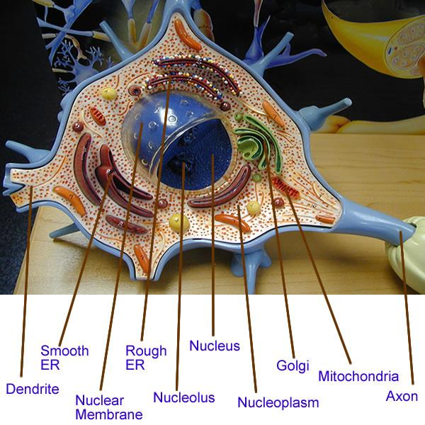 Print The Nervous System Flashcards