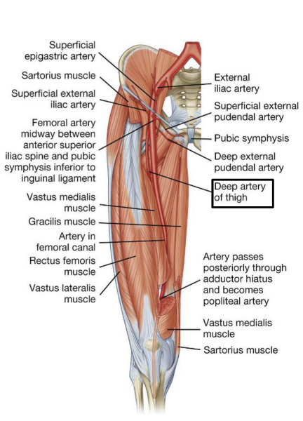 Print GSU Blood Vessels of the Lower Limb flashcards | Easy Notecards