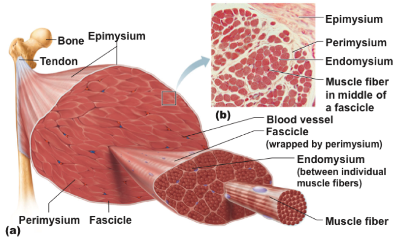 "where is connective tissue found Loose connective tissue: found beneath skin, anchors muscles,nerves etc include fibroblasts, macrophages, mast cells,and adipose cells fibers include collagen and elastic fibers ground substance is ""syrupy"" adipose included dense connective tissue: largely densely packed fibers of collagen or elastin regularly or."