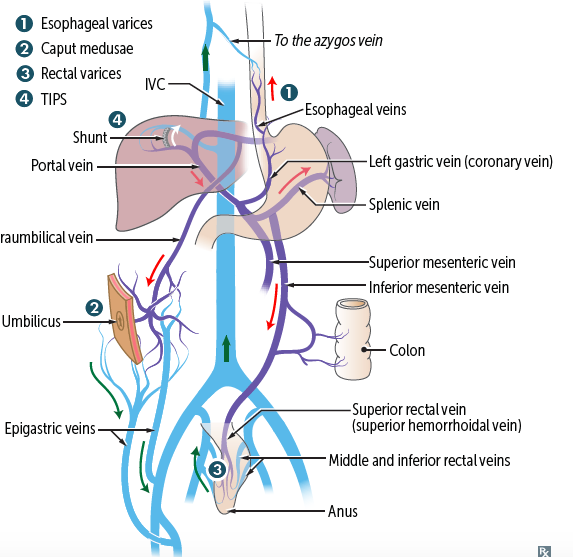 Print Gi Portal Venous System Anastomoses Anal Lines Flashcards