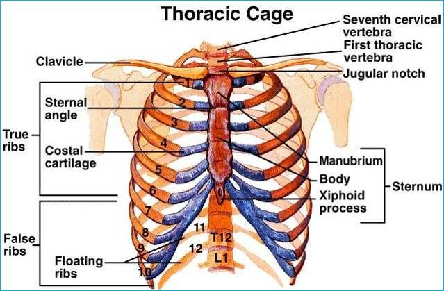 44205 together with 7069443 further 3967673 likewise 231790 further Chordata. on dorsal body cavity contains