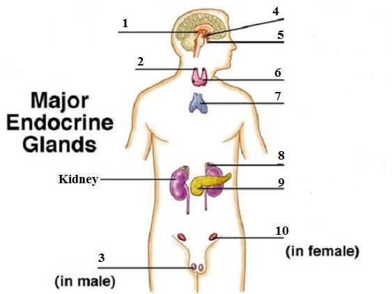 Hesi A2 Endocrine Misc Cards Flashcards Easy Notecards