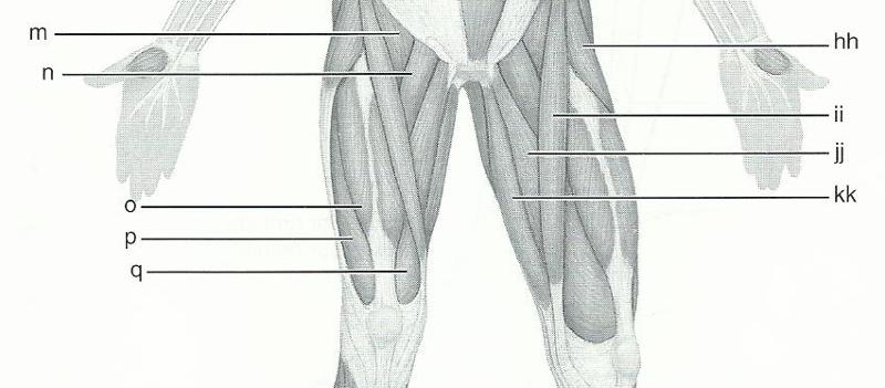 term for the biceps brachii during elbow flexion