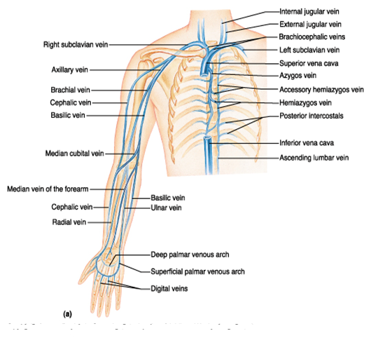 final exam flashcards | easy notecards, Cephalic Vein