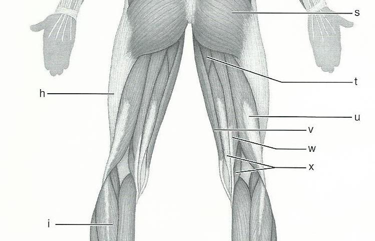 Exercise 15  Gross Anatomy Of The Muscular System