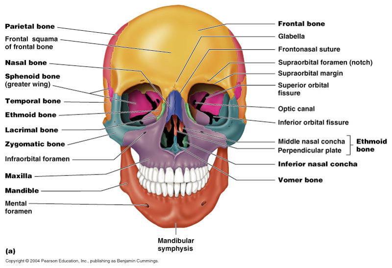 print the skull flashcards | easy notecards, Human Body