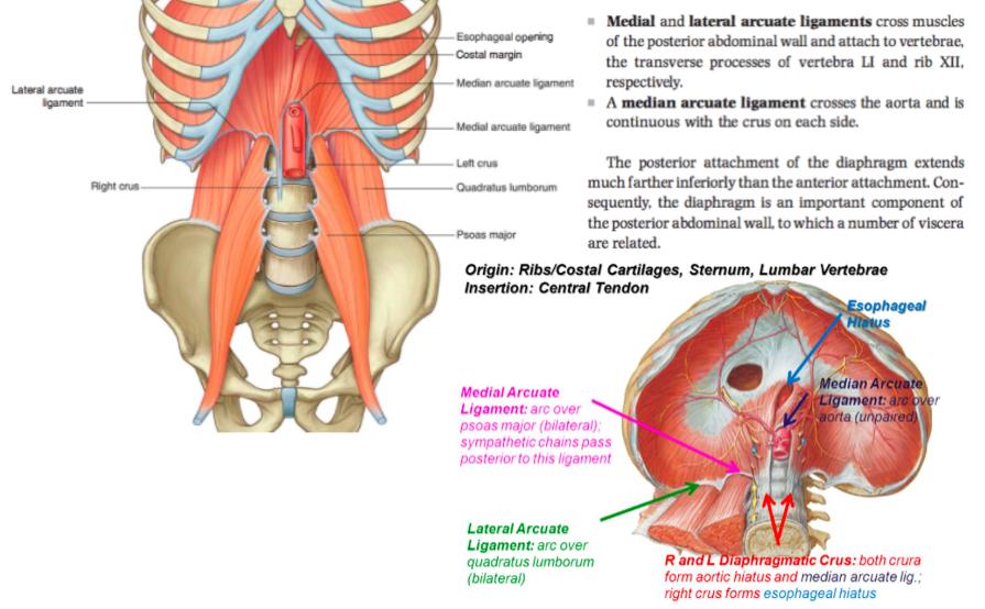 Nett Quadratus Lumborum Anatomie Ideen - Anatomie Ideen - finotti.info