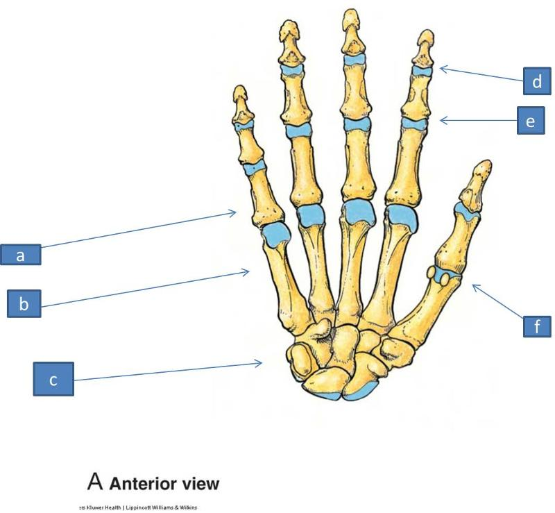 Print Anatomy Block III- Wrist and Hand flashcards | Easy Notecards