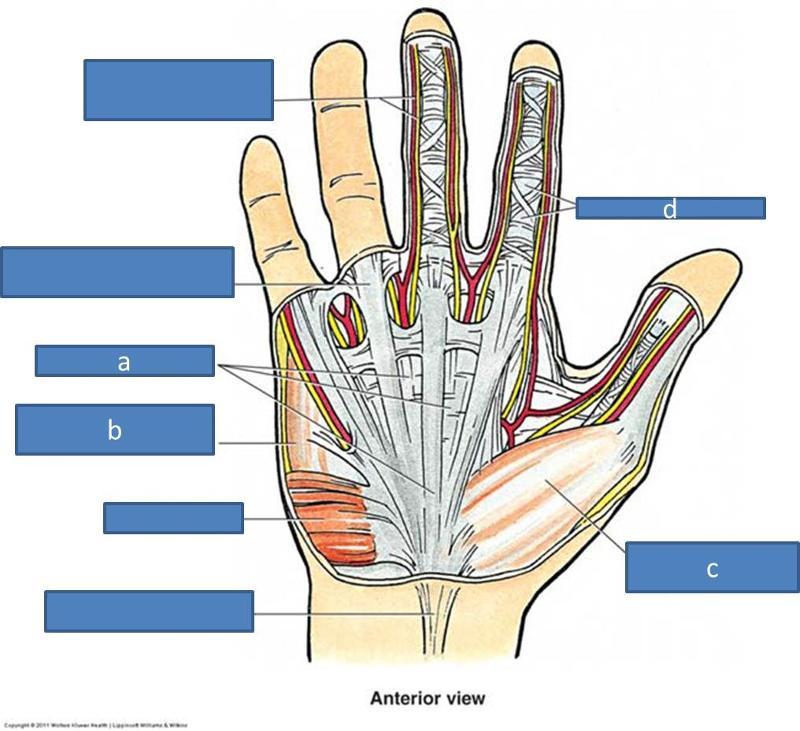 Print Anatomy Block III- Wrist and Hand flashcards | Easy Notecards