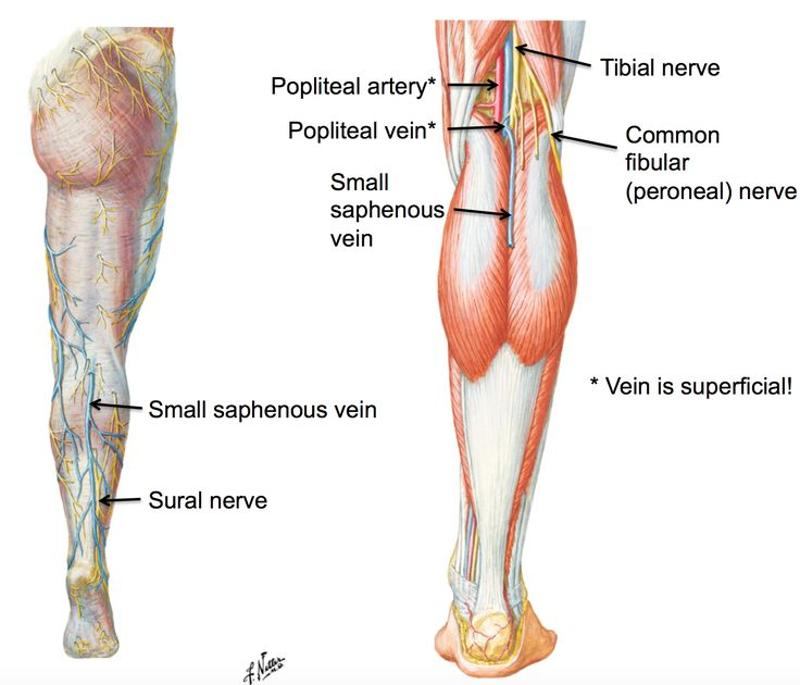 GSU Blood Vessels of the Lower Limb Flashcards | Easy Notecards