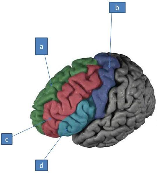 Neuro Lab Block I Brain Stem Gross Anatomy Flashcards Easy Notecards