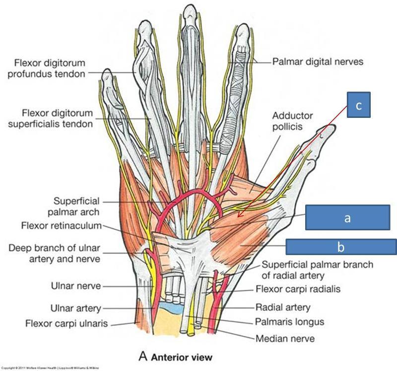 Print Anatomy Block Iii Wrist And Hand Flashcards Easy Notecards