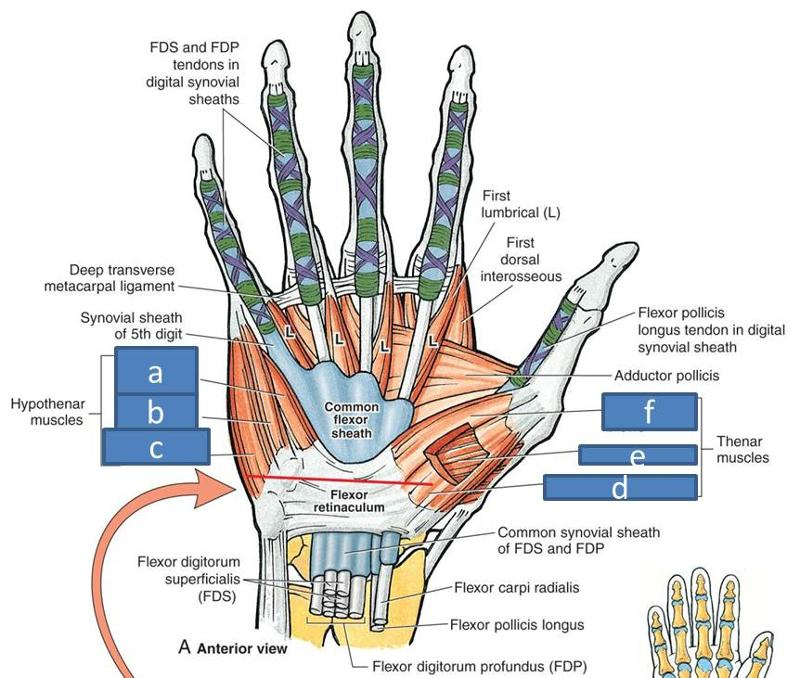 Anatomy Block Iii Wrist And Hand Flashcards Easy Notecards