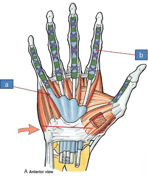 Anatomy Block Iii Wrist And Hand Flashcards Easy Notecards