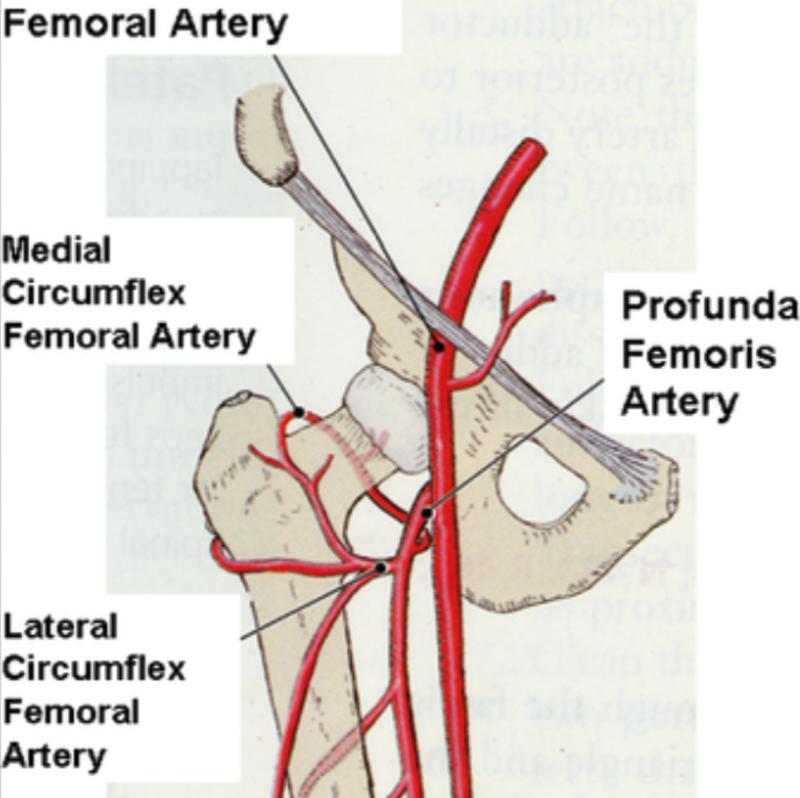 Medial Circumflex Femoral Artery GSU Blood Vessels of t...