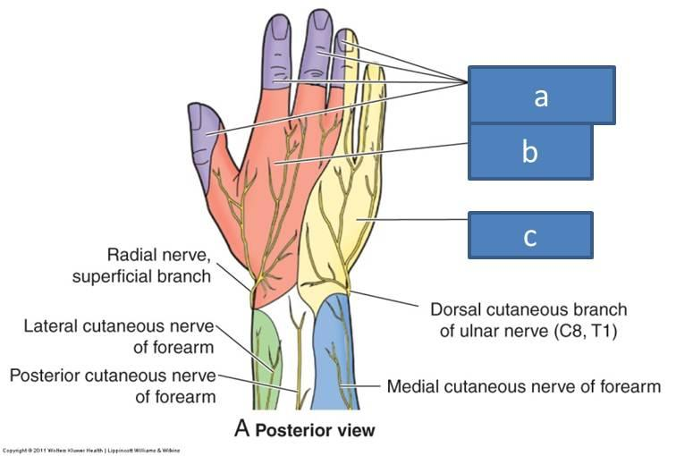 Anatomy Block III- Wrist and Hand Flashcards | Easy Notecards