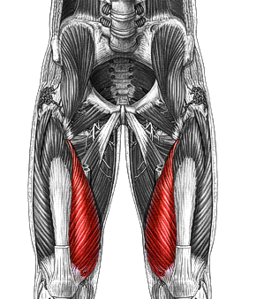 Sartorius further Rotational Flap A likewise New Spinalis Thoracis furthermore Gk B W Kjhwyrwyrqcopq Musculus Serratus Posterior Inferior moreover . on pectoralis minor muscle