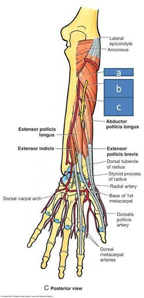 Anatomy Block III- Forearm Flashcards   Easy Notecards