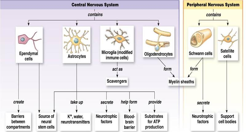Chapter 7 The Nervous System - Lessons - Tes Teach