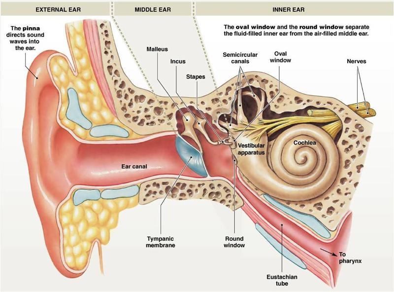Mammalian Physiology Midterm 2 (ch 6-11) Flashcards | Easy Notecards