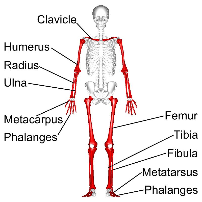 Simon Says Anatomy Flashcards | Easy Notecards