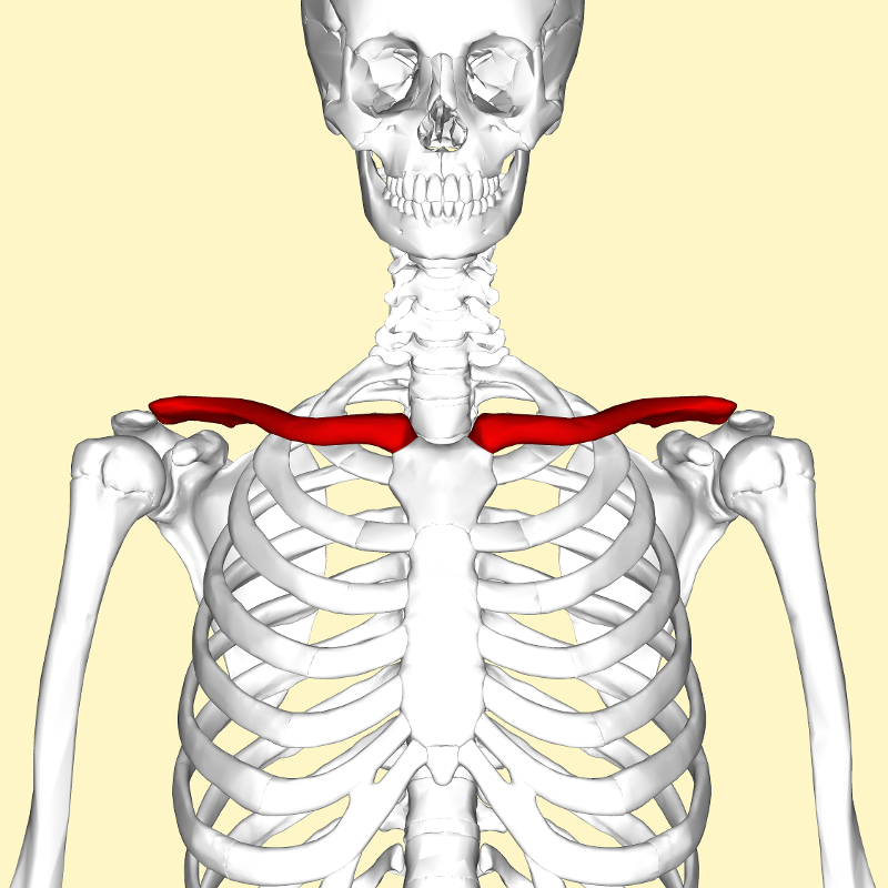 Simon Says Anatomy Flashcards | Easy Notecards