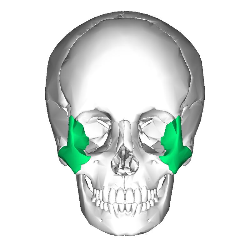 Facial Bones Flashcards | Easy Notecards