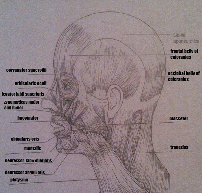 Head And Neck Muscles Labeled Muscles of The Head And Neck