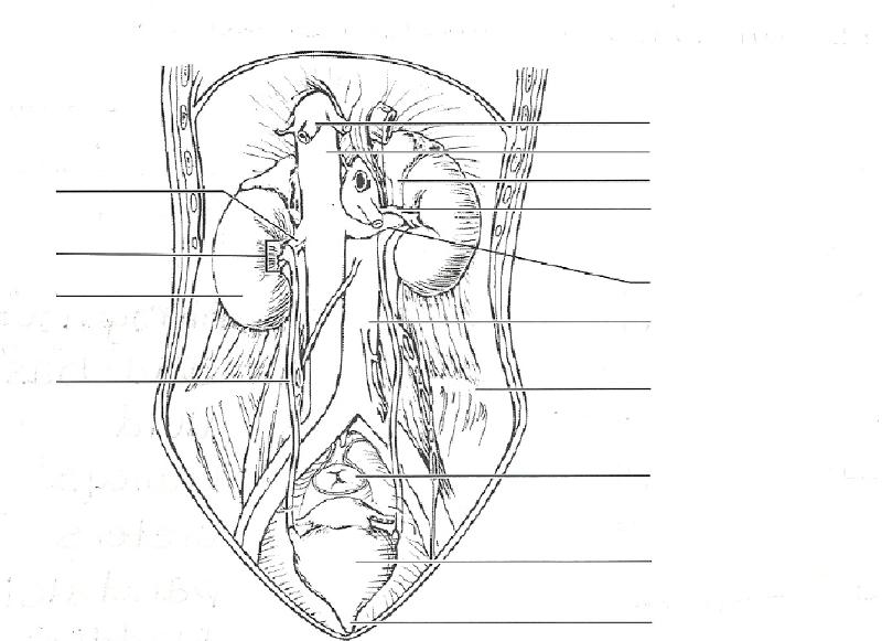 print exercise 40  anatomy of the urinary system flashcards