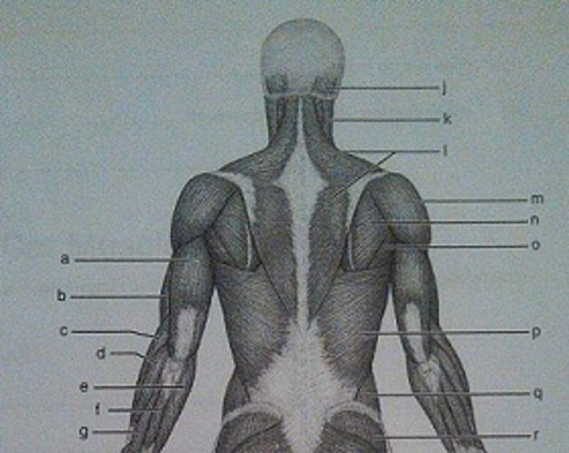 Gross anatomy of the muscular system exercise 12