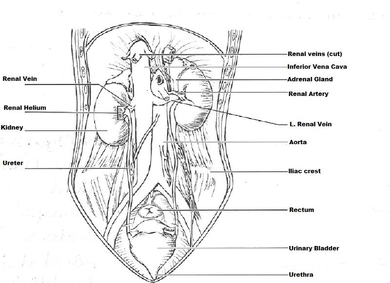 print exercise 40  anatomy of the urinary system
