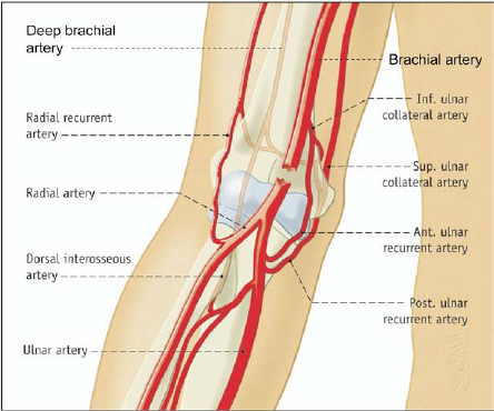 blood vessels of the upper limb flashcards | easy notecards, Human body
