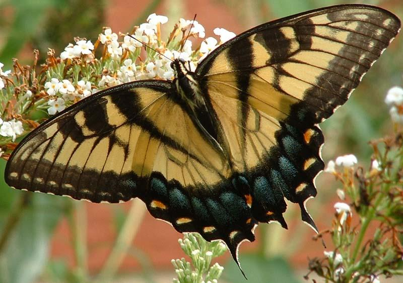 Butterflies Native To Northern Illinois Flashcards