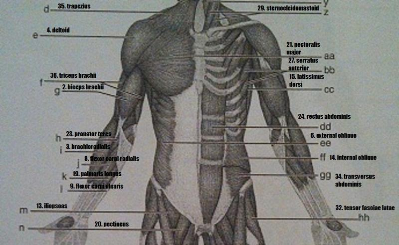 Anatomy And Physiology Coloring Workbook Chapter 6 Muscles Of The
