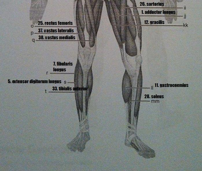 print exercise 14: gross anatomy of the muscular system flashcards, Muscles
