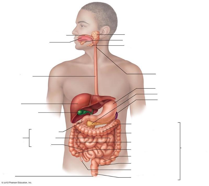 Digestive system Lab Flashcards | Easy Notecards