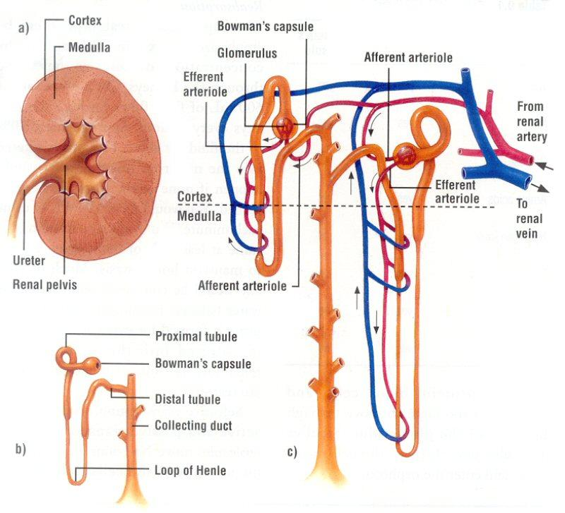 Functional Anatomy Of The Urinary System Exercise 26 Answers Image