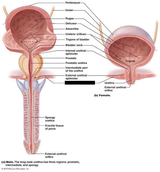 bio lab quiz 11/23 flashcards   easy notecards sphincter muscle diagram abdominal muscle diagram blank #10