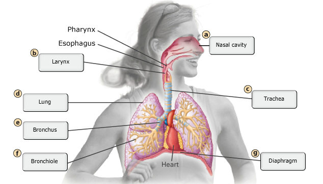 Chapter 22  The Respiratory System Flashcards